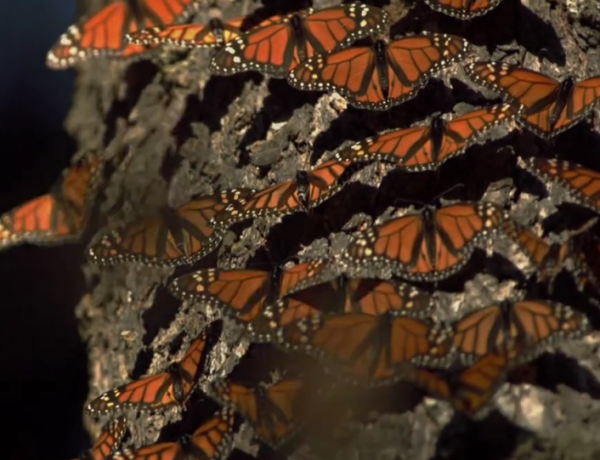 Monarch butterflies are beautiful.