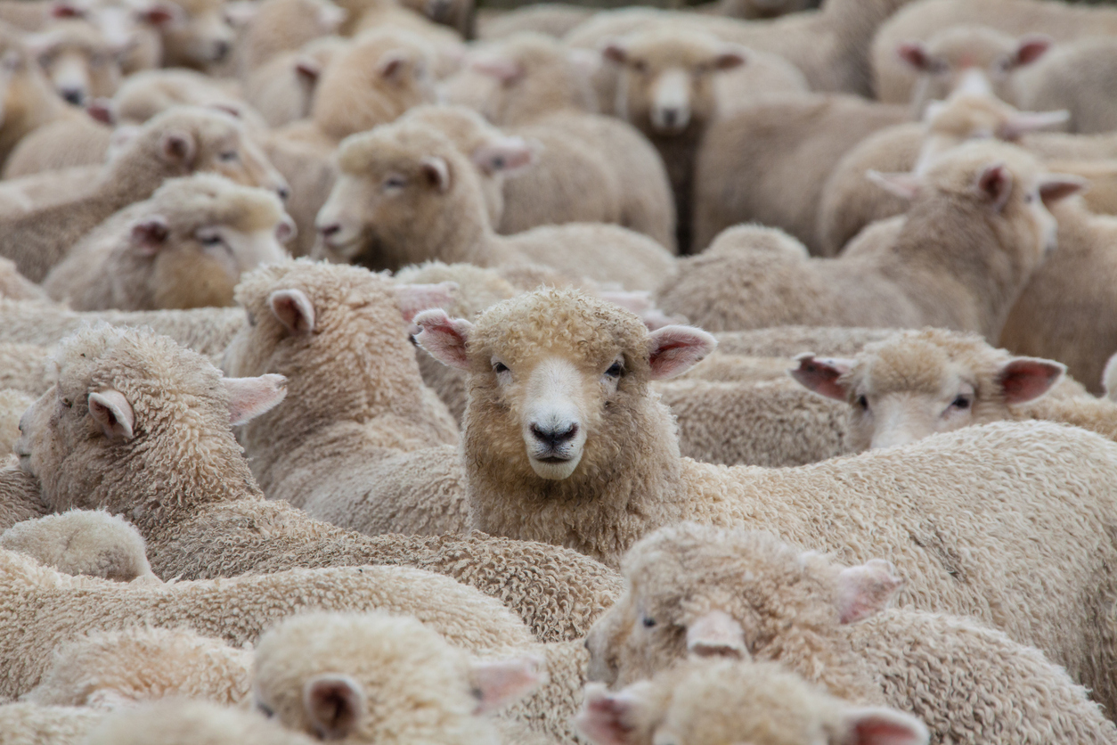 The Truth About Wool and Why It's so Cruel