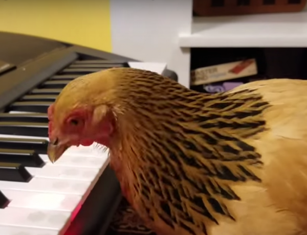 This chicken needs a record deal.