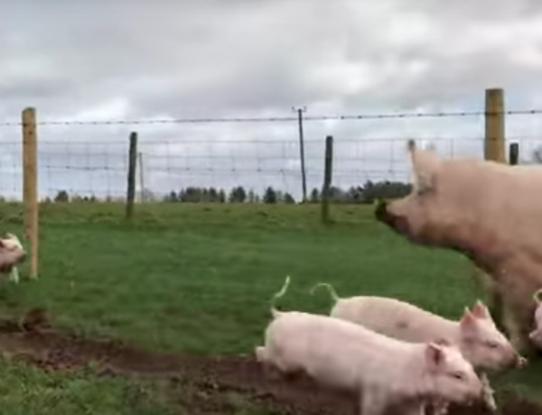 Pigs should be free.