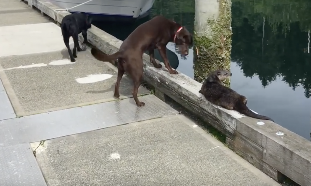 Dogs and otters really like each other.