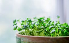 How to Grow Fresh Microgreens Indoors