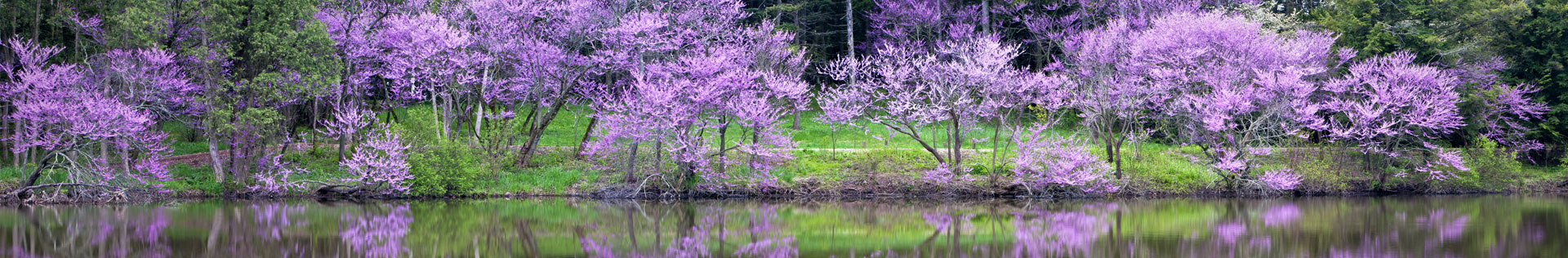 Blooming purple crape myrtle trees by the river