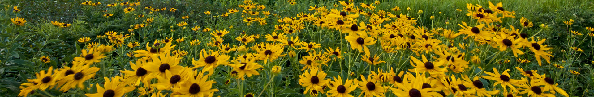A photo of Gloriosa daisies in a field