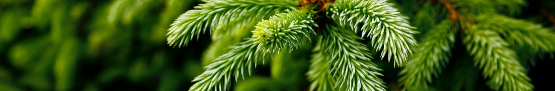 A close up photo of the spines on an evergreen