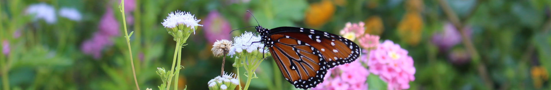 A close up photo of a monarch butterfly on a flower