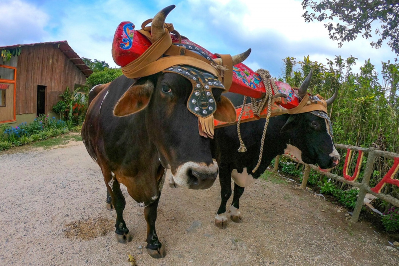 Cattle on carriage with headdress