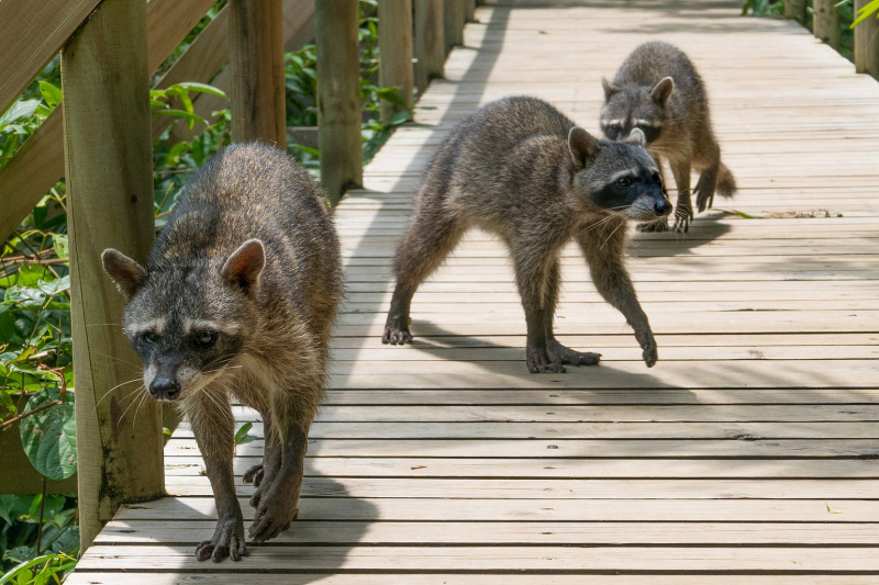 Group of raccoons seen on the nature pathways