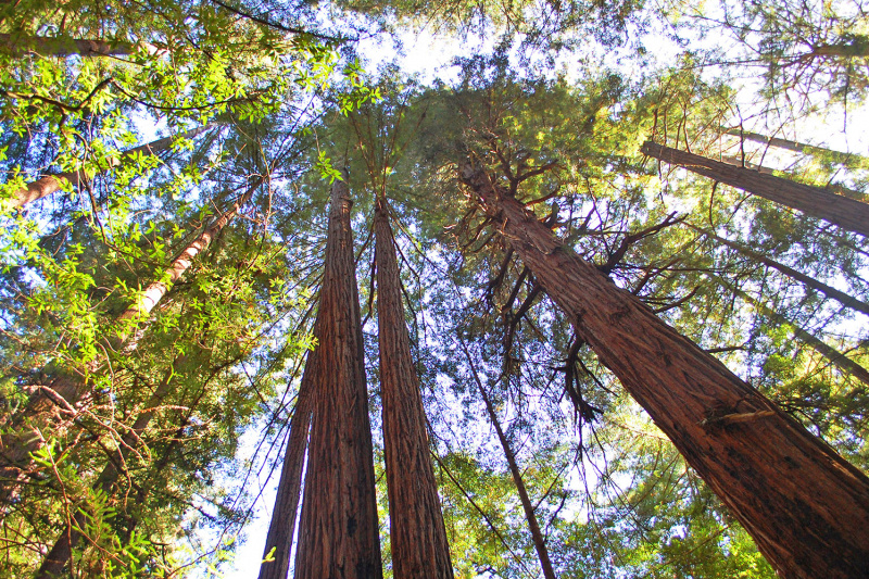 Redwood trees reaching up into the sky