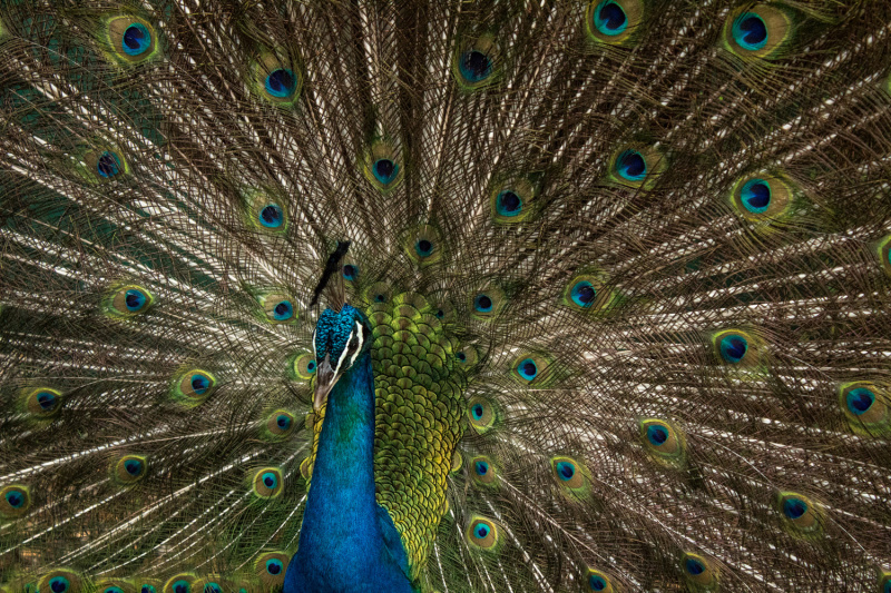Beautiful close-up of a peacock at the Wildlife Rescue Center.