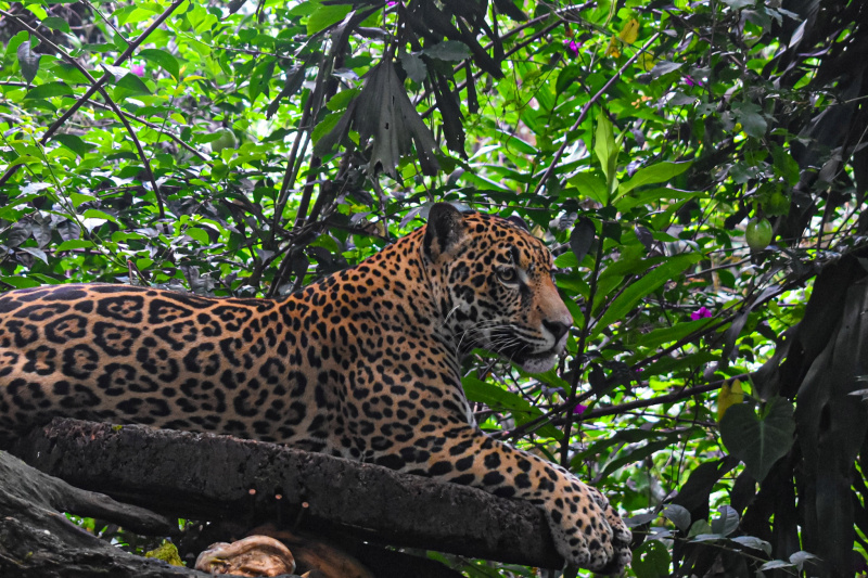Close up of a leopard laying on a large tree branch at the Wildlife Rescue Center.