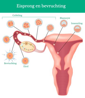 Schematische weergave van eisprong en bevruchting bij normale vruchtbaarheid vrouw