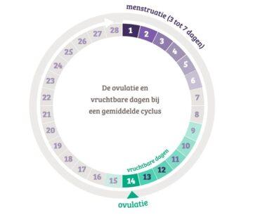 De ovulatie en vruchtbare dagen bij een gemiddelde cyclus