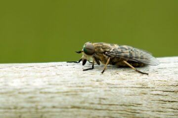 insectenbeet herkennen baby - steekvlieg