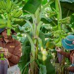 Cambodia-Yellow-banana-3
