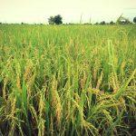cambodia-rice-field-1
