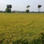 cambodia-rice-field-2