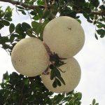 limonia-acidissima