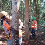 cambodia-rubber-plantation