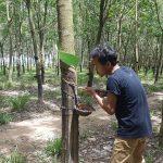 cambodia-rubber-tree-1