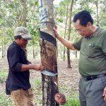 cambodia-rubber-tree