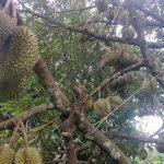 cambodia-durian-1