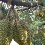 cambodia-durian