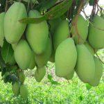 cambodia-mango