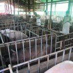 african-swine-fever-1