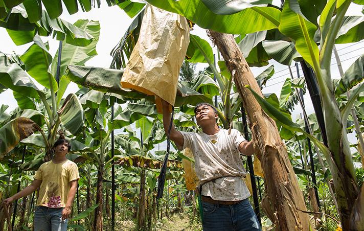 要改變蕉農,就得成為蕉農。