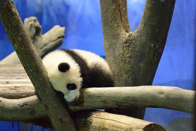 為何中國要出租貓熊?