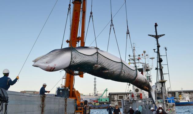 明明不愛吃鯨魚了,日本人為何賭上國際形象要捕鯨?