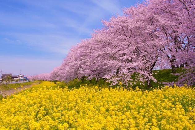 還在走馬看花?像日本人一樣賞櫻吧!