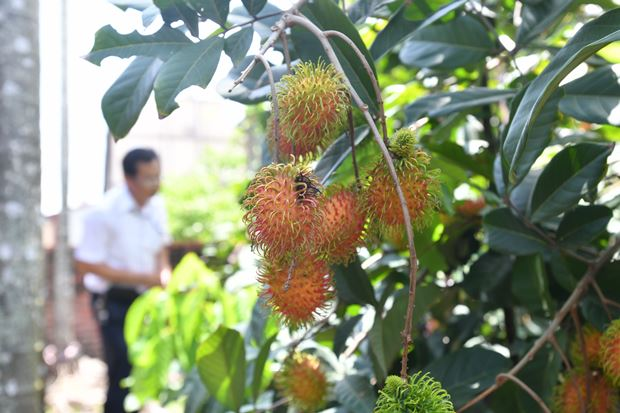 Lychees and Longans Could Become Impossible to Get at Any