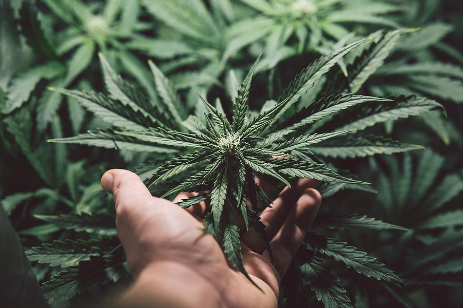 marihuana-México-cannabis