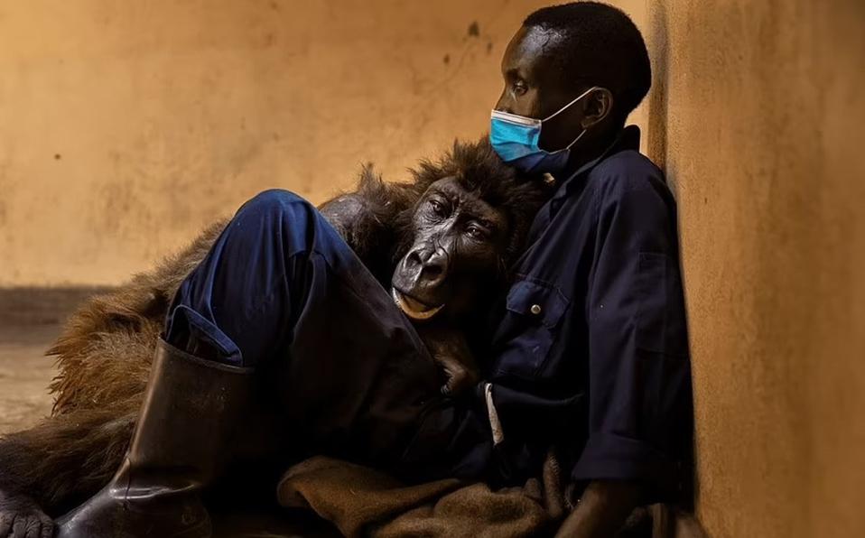 Famosa gorila del PNVi muere en brazos de su cuidador