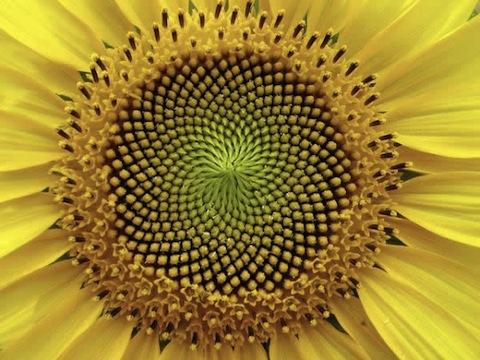 numero-aureo-fibonacci_1