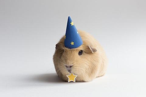 worlds-cutest-guinea-pig-booboo-1