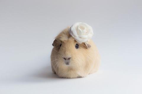worlds-cutest-guinea-pig-booboo-5