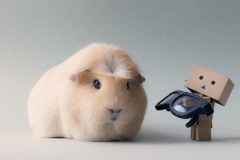 worlds-cutest-guinea-pig-booboo-7