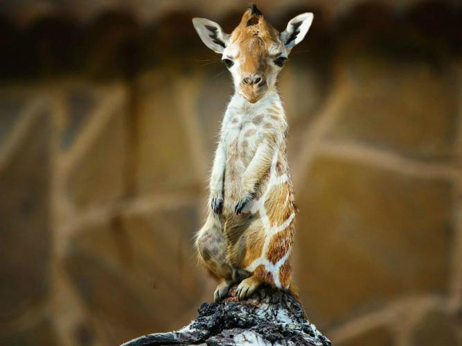 3038292-slide-s-12-hybrids-showcases-the-twisted-world-of-baboon-birds-and-meerkat-giraffes
