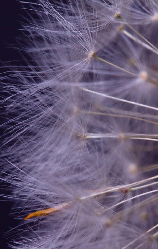 dandylion-seed