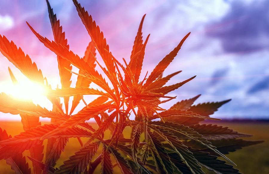 Marihuana es legalizada en Estados Unidos
