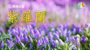 深夜心音-紫羅蘭