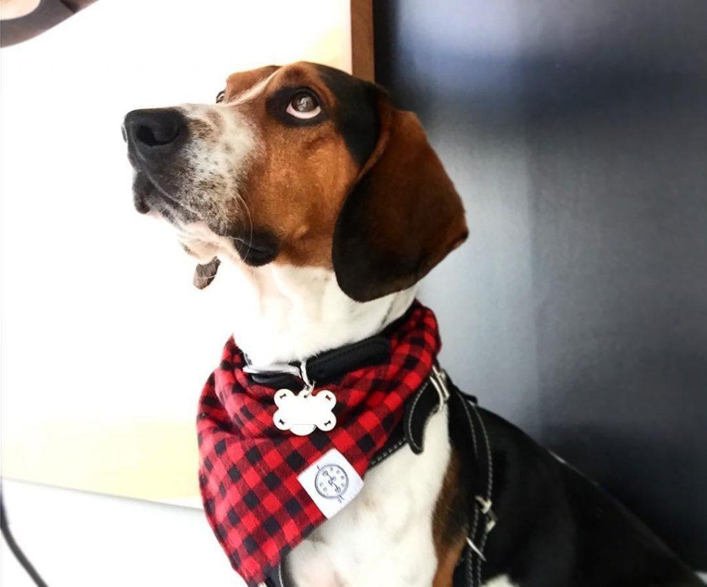 Frijoles, un Beagle Harrier que ha aprendido nuevamente a ser amado