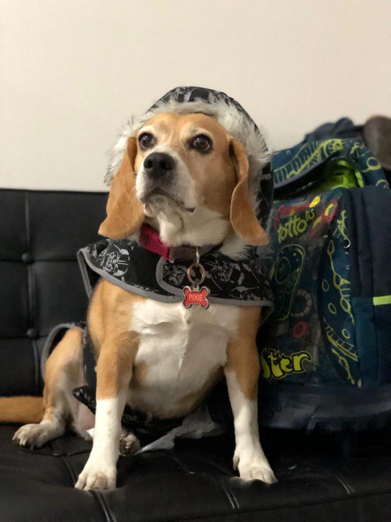 Beagle es una raza de perro mediano