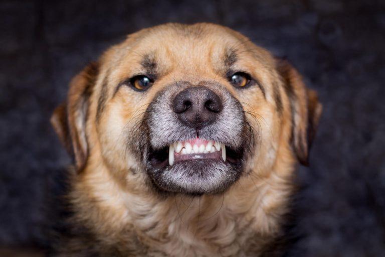 ¿Por qué debe cuidarse la salud dental de un perro?