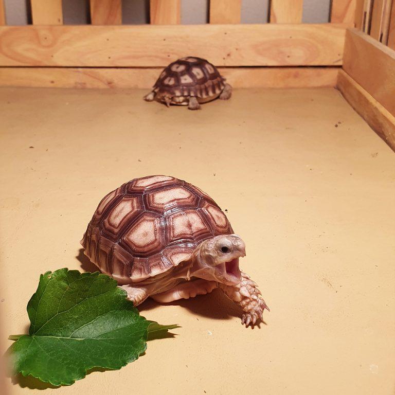 ¿Cómo saber la edad de tu tortuga?
