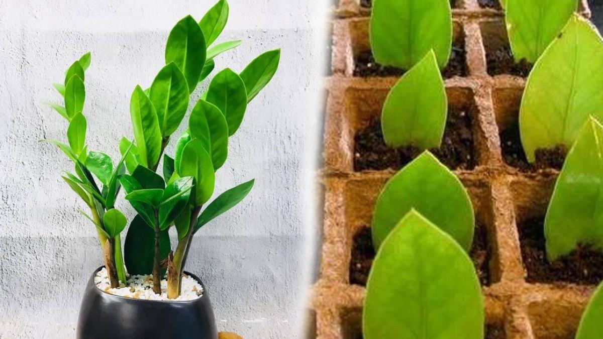 Cách trồng cây kim tiền nhanh ra lọc non và sum suê