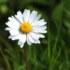 Hoa Cúc Nhỏ